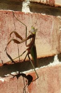 Praying Mantis by Elizabeth Olney