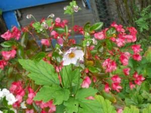 September Bell in bloom