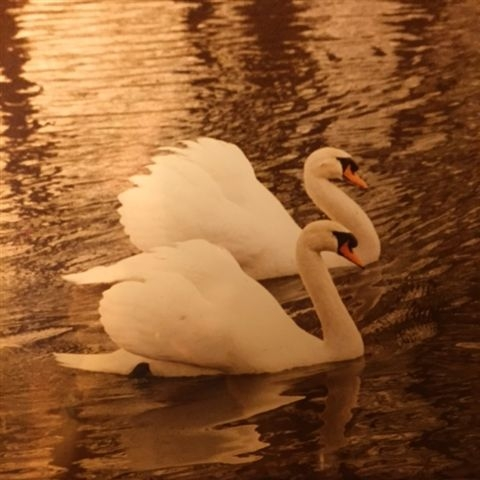 Beautiful Libra Swans photo by Tovah Delmont