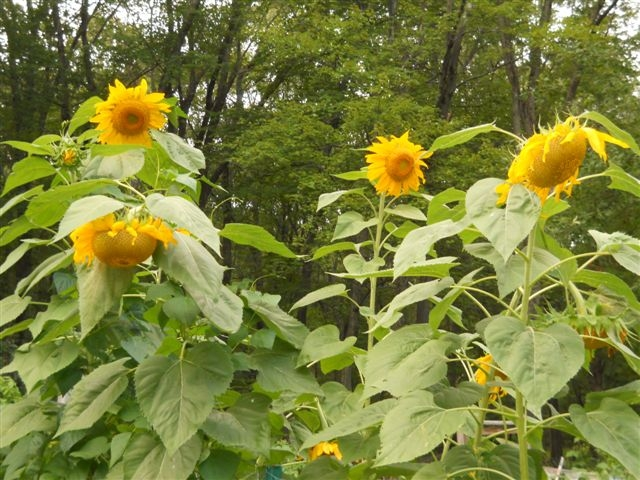 Sunflowers Bow to the Sun
